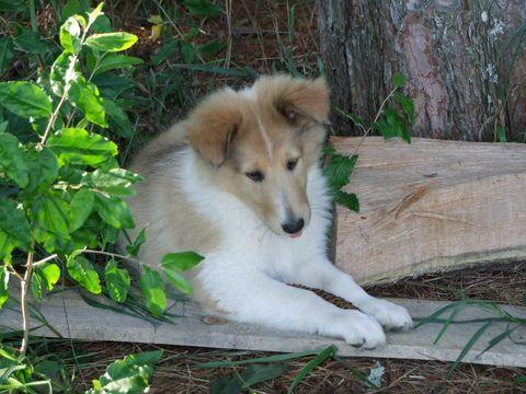 Collie Puppy For Sale In Harrisville Mi Adn 41855 On Puppyfinder