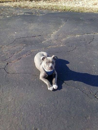 Gt Gt Hartford Ct Lost Grey W White Pit Losing A Pet