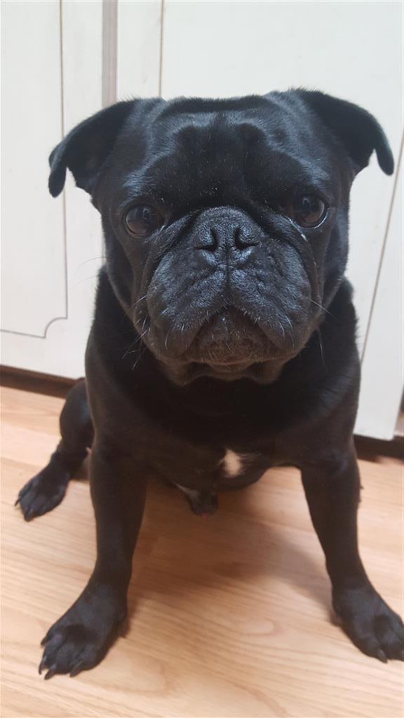 Lost Dog Male Hudson Fl Usa 34667 Losing A Dog Dogs Pugs