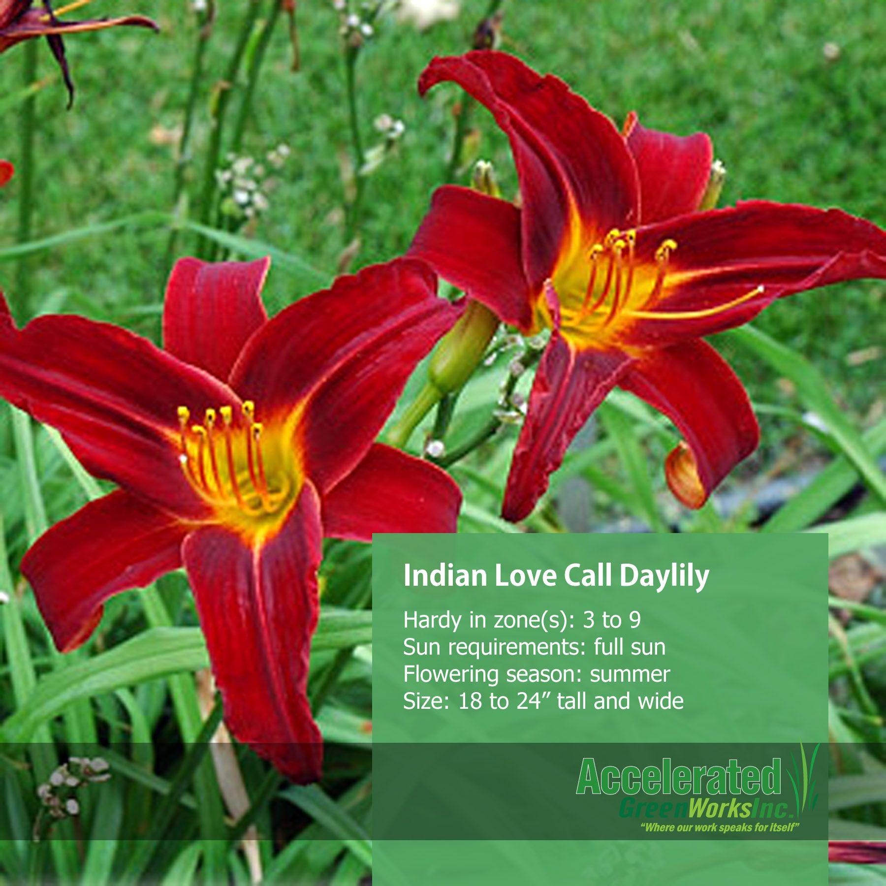 Indian Love Call Daylily | Perennials | Pinterest