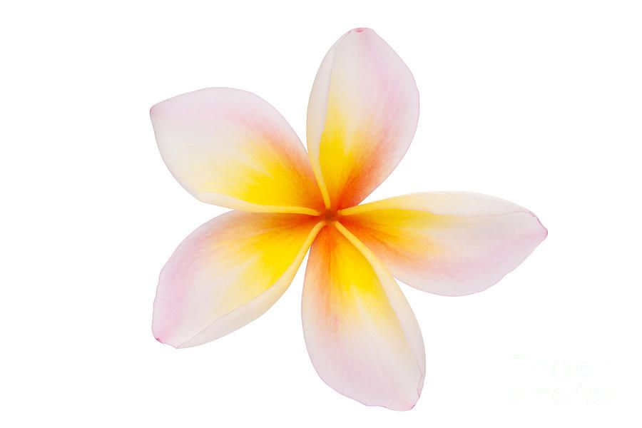 plumeria clip art clipart best cards pinterest art clipart and rh pinterest com free plumeria clipart plumeria flower clipart