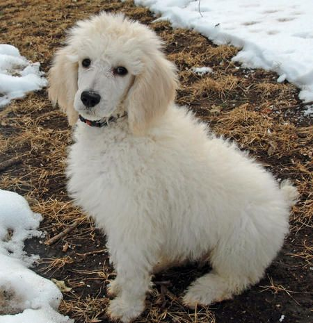 Ted The Poodle I Live In Missouri I Have A Big Brother That Is