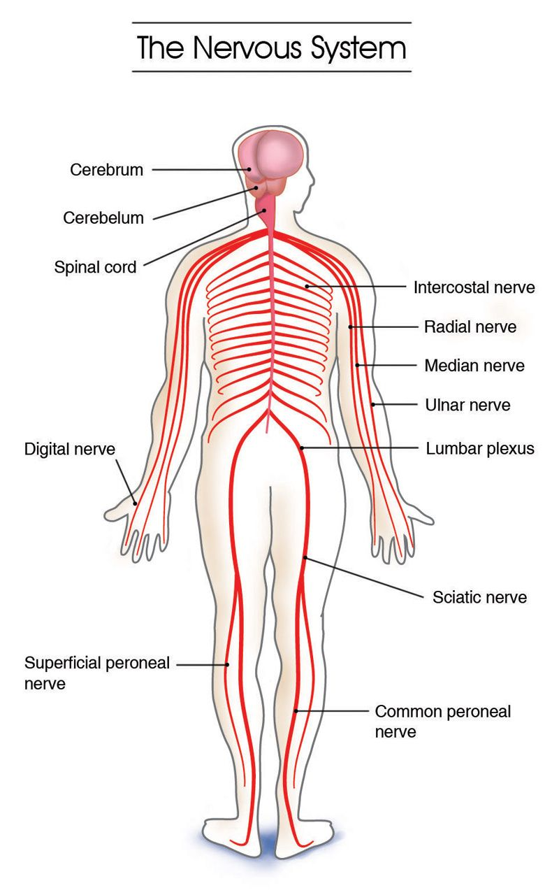 Labeled Diagram Of The Nervous System Human Anatomy Organs