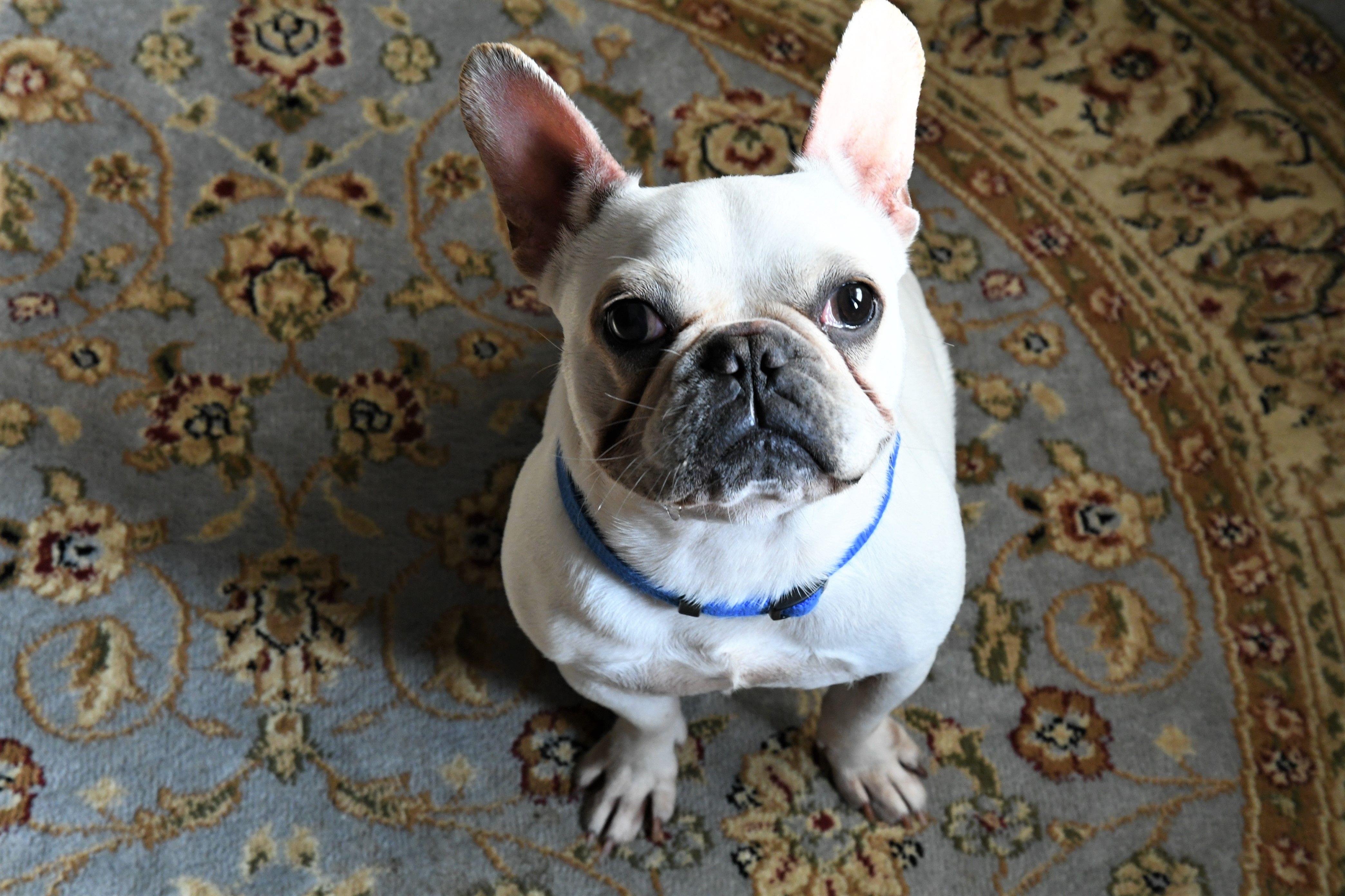 French Bulldog dog for Adoption in Gulfport, MI. ADN