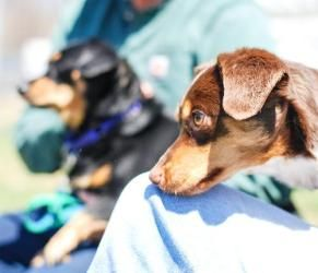 Doddy Brandy Is An Adoptable Dachshund Dog In Roanoke Va Could