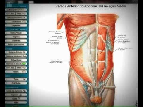 Anatomia Humana: Músculos do tórax e abdomen. - YouTube   Anatomía ...