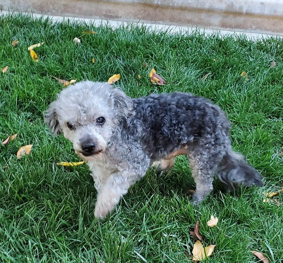 Adopt Senior on Poodle mix dogs, Poodle mix, Pet adoption