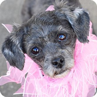 Glastonbury Ct Poodle Toy Or Tea Cup Mix Meet Patty A Dog For Adoption Http Www Adoptapet Com Pet 14694666 Glastonbury Connect Toy Poodle Poodle Pets