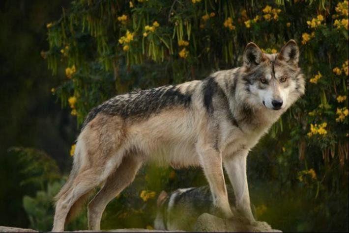Ntcd Lobo Mexicano Animales En Peligro De Extincion Zoologico De Aragon