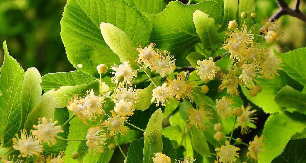 Die Linde – Ihr Geheimnis liegt vor allem in den Blüten