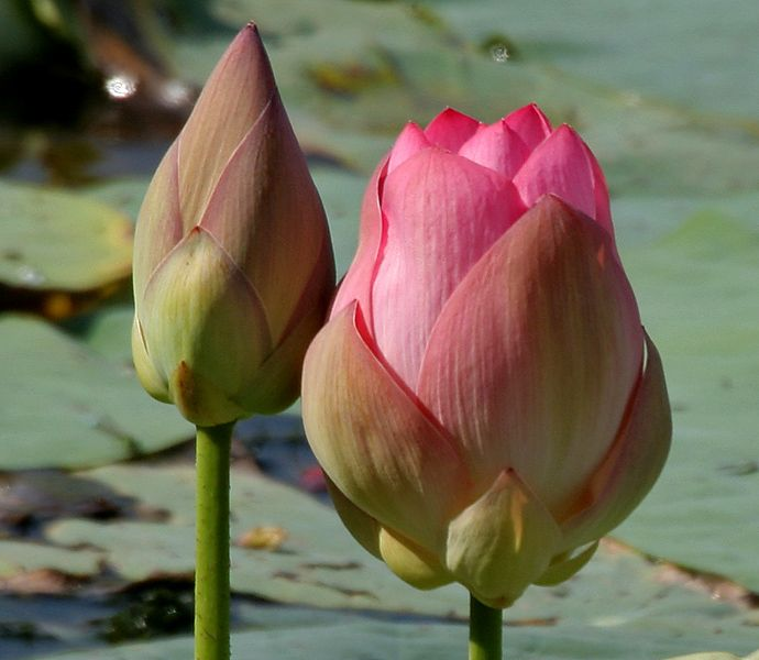 Nelumbo nucifera (Indian Lotus) in Hyderabad