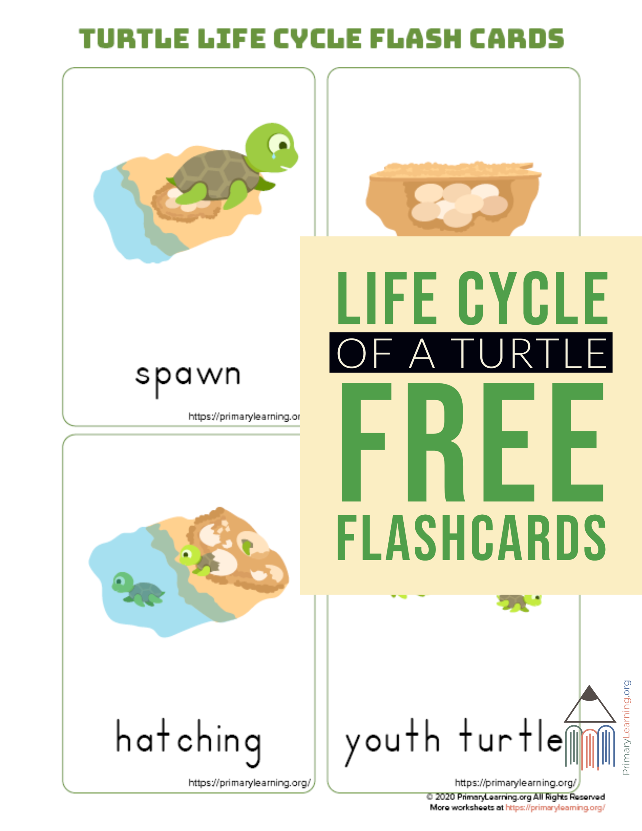 Turtle Life Cycle Flashcards
