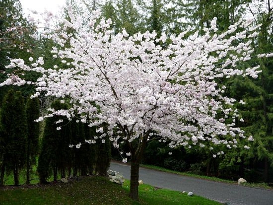 Travel Photo Thursday It S Cherry Blossom Time In Vancouver Garden Wall Garden And Yard Flower Garden