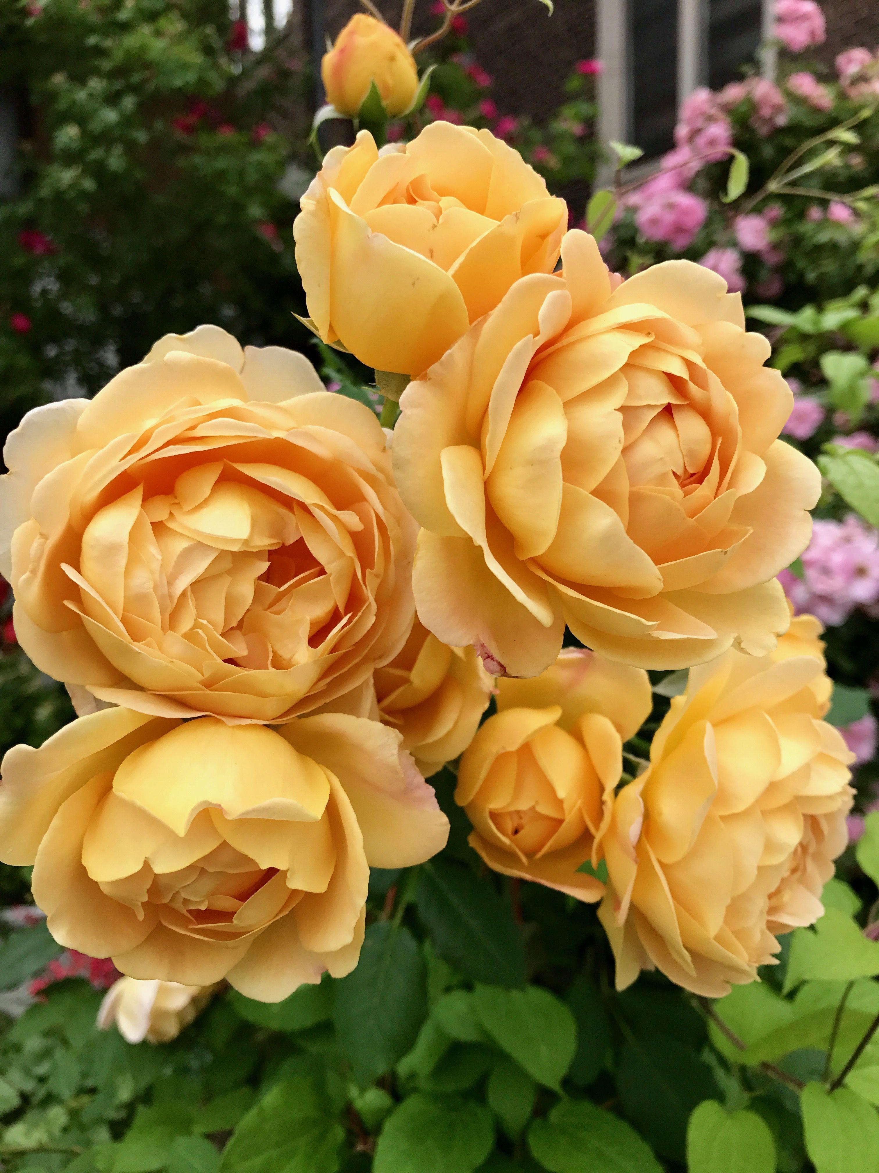 David austin golden celebration roses secret garden golden