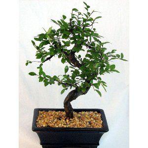 Chinese Elm Bonsai Tree - Medium by Bonsai Boy --- http://www.amazon ...