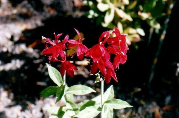 Red Bon Salvia Essence - for healing physical body cellular trauma.