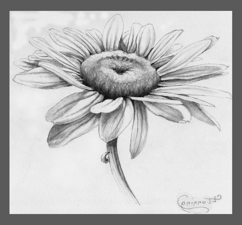 Daisy pencil drawing pencil drawing of leaves pencil sketch drawing