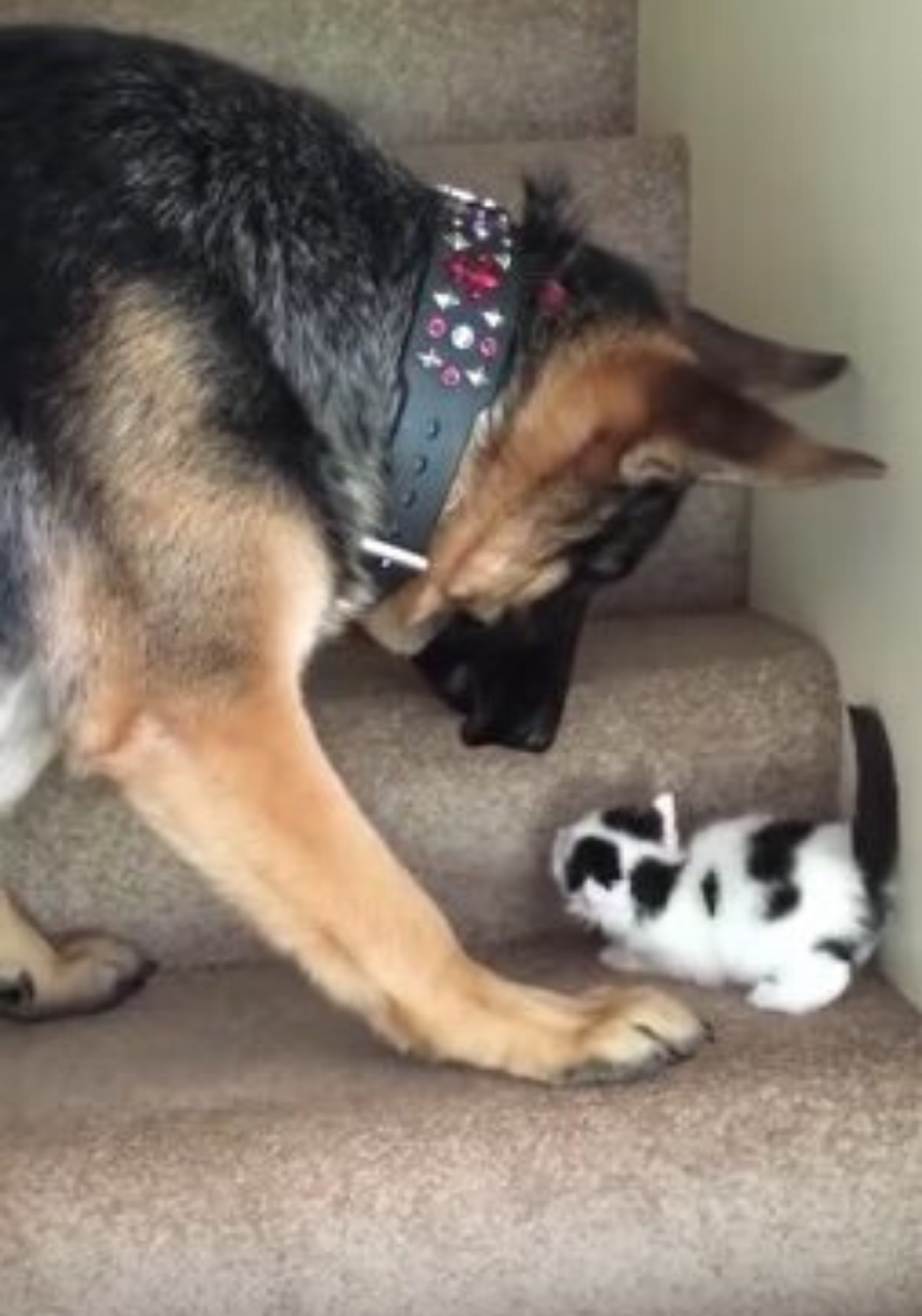 Dog Sees Adorable Kitten Trying To Hop Up The Stairs Decides To Carry Him In 2020 Dogs Kittens German Shepherd