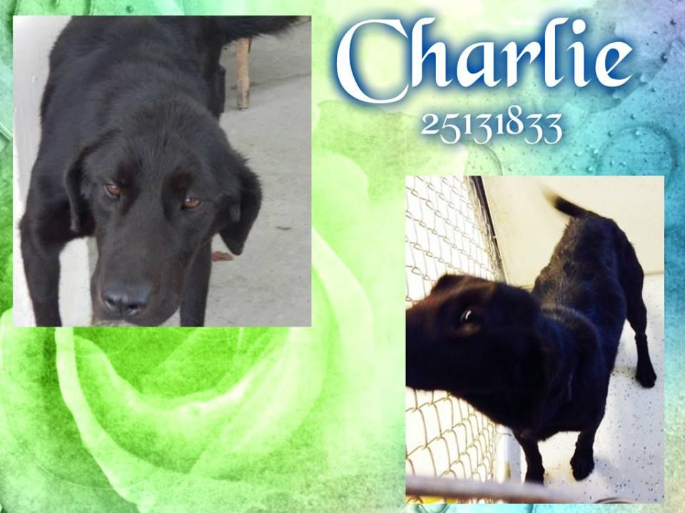 Duplin County Nc This Is A Wonderful Dog Male Lab Mix With Longer