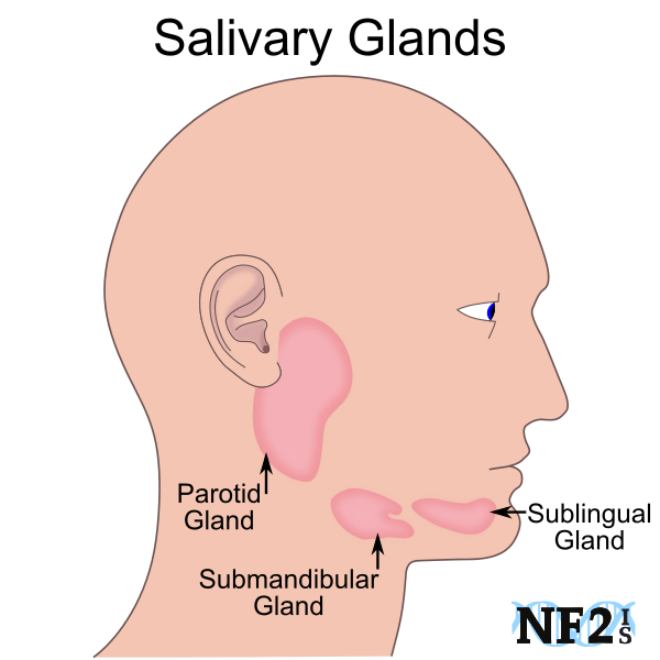 mouth, glands, Salivary Glands, parotid gland, submandibular gland ...