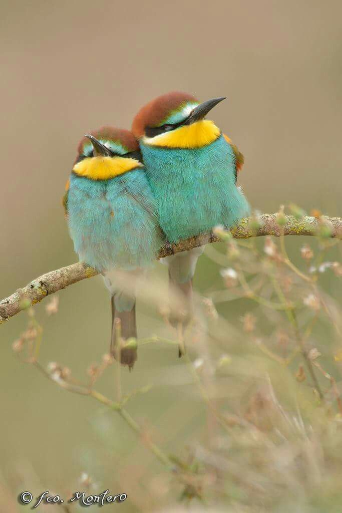 Le Costume Des Pelages Oiseau Bird Collection Couple Bleu Vert Turquoise Jaune Yellow Oiseaux Colores Beaux Oiseaux Oiseaux
