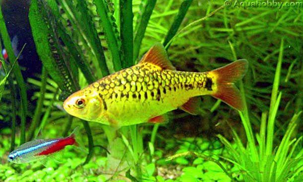 Gold Barb Puntius Sachsii Cool Fish Aquarium Fish Freshwater Fish