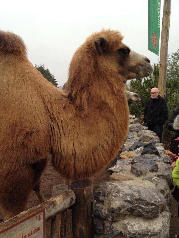 Zoo Zurich (Switzerland): Bactrian Camel