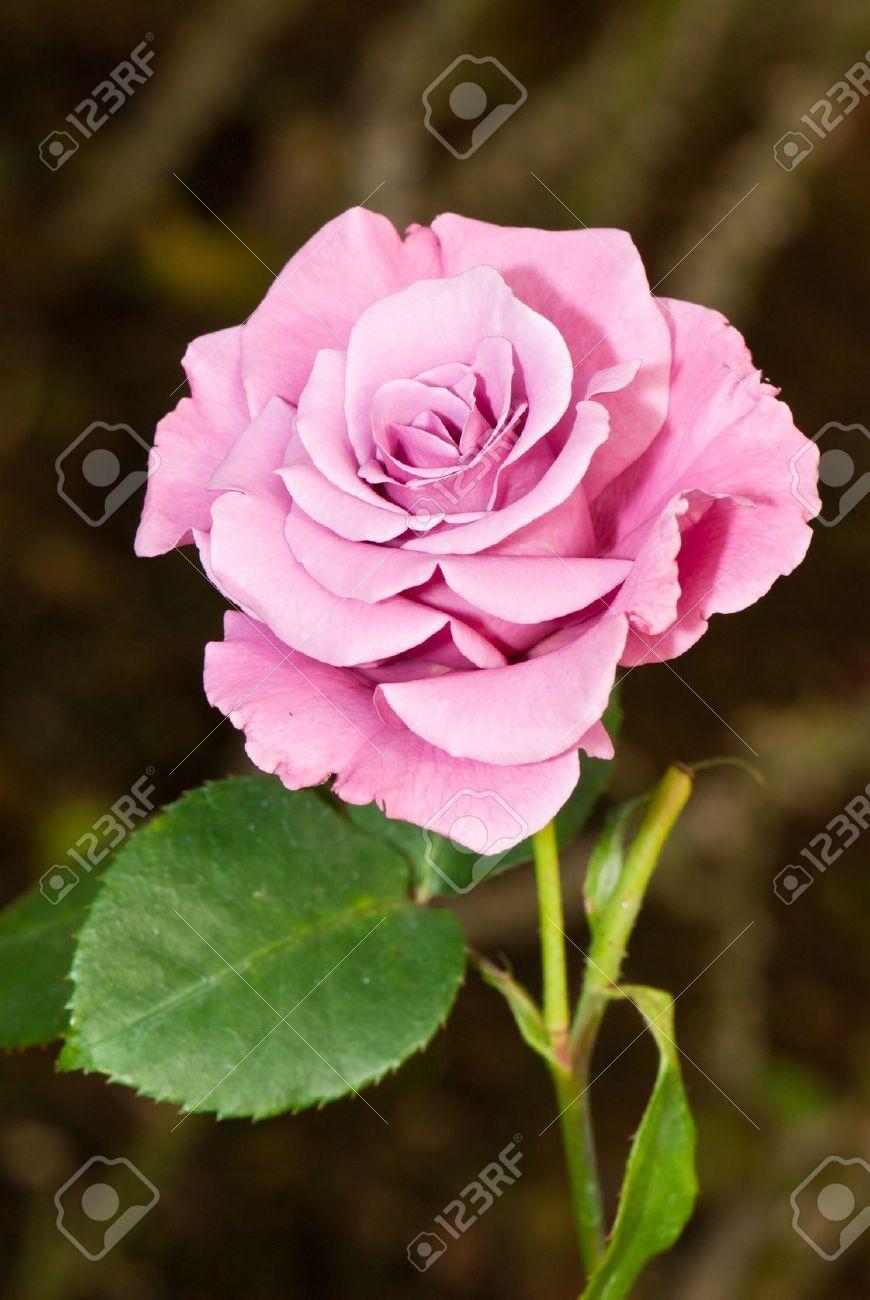 Stock Photo | Hybrid tea roses, Best roses, Rose