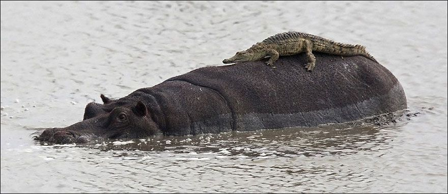 Croc Riding A Hippo