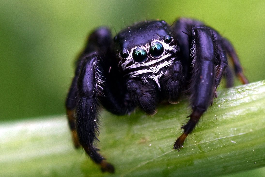 A Little Spider No More Than 1 5 Centimeters In Length Purple Spooder Jumping Spider Pet Spider Weird Insects