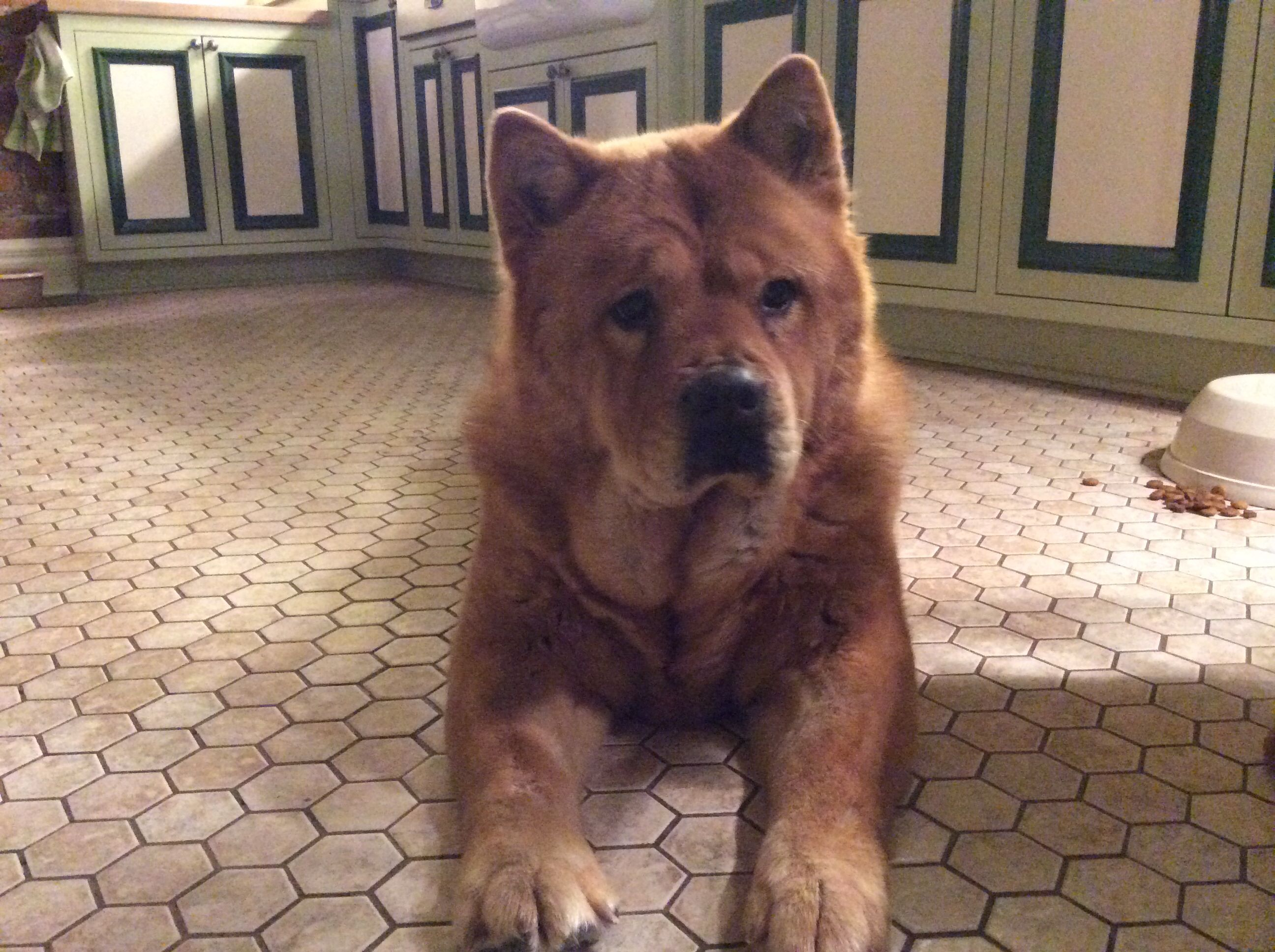 A Smooth Coated Chow Chow Chow Chow Dogs Chow Dog Breed Chow Chow
