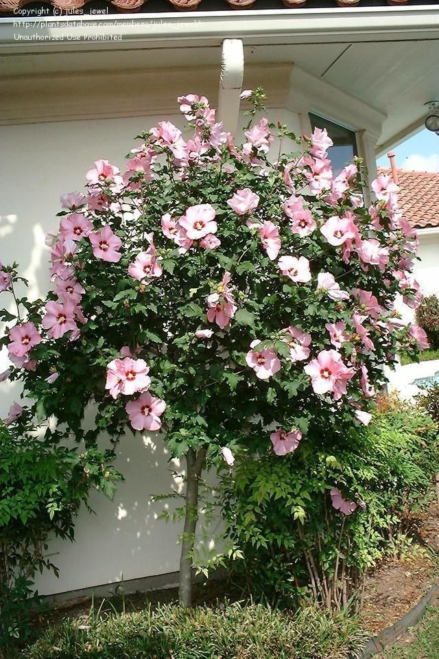 Picture of Live Rose of Sharon(lavender) aka Hibiscus syr. 'Minerva' Std Plant Fit 5 Gallon Pot