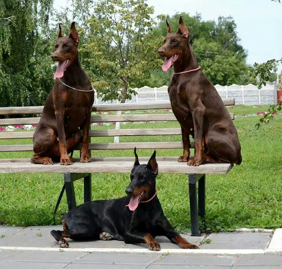 Red doberman puppies for sale in florida