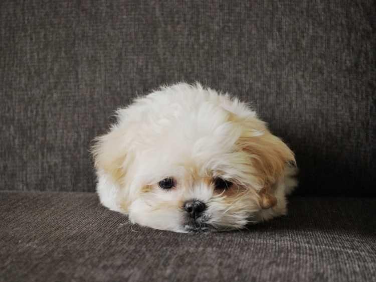 Chloe the Pekingese/Poodle Mix | Beautiful, Cute and Funny