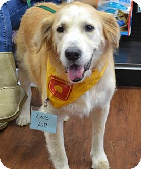 Birmingham Al Golden Retriever Meet Rosco A Dog For Adoption