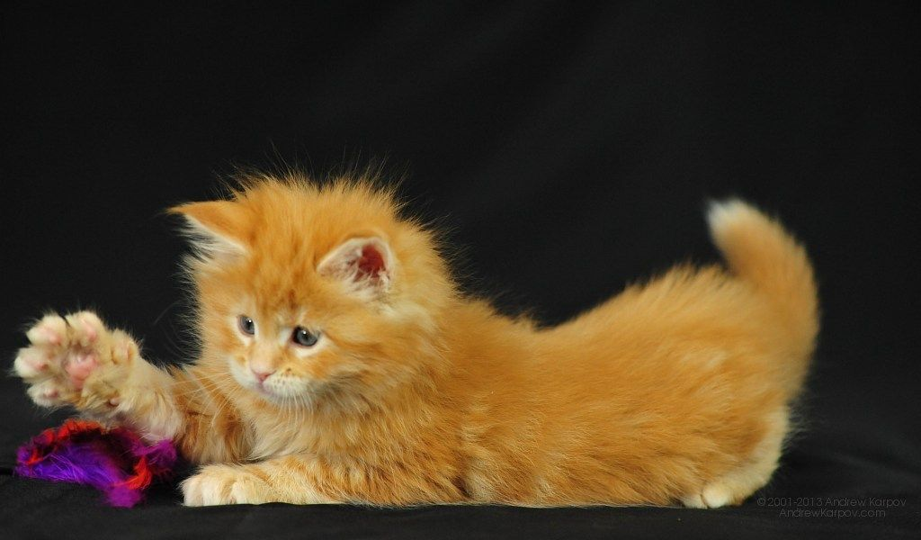 Kuvat Ilmainen Taustakuvaksi Ladata Valokuvat 1024 X 600 Kissanpentu Cats Animals Kitty