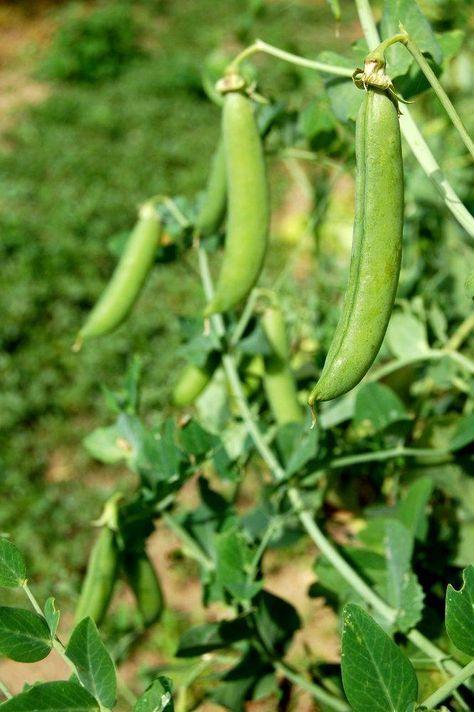 Petit pois | Culture, semis et récolte des petits pois au potager | Potager, Jardin potager ...
