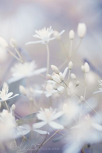 Soft Touch Flowers Flowers White Flowers Beautiful Flowers
