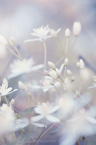 Soft touch flowers pinterest flowers white flowers and soft touch pastel flowers white flowers beautiful flowers bokeh plants mightylinksfo