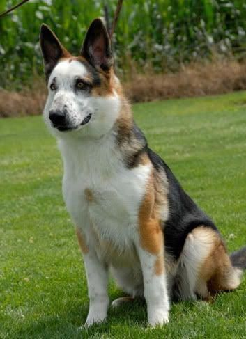20 German Shepherd Puppies That You Ll Want To Take Home Immediately Panda German Shepherd German Shepherd Dogs Dogs