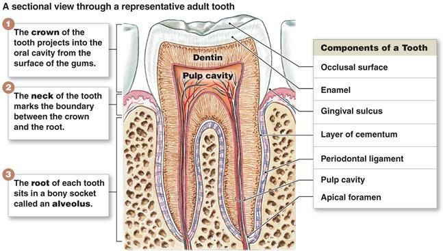 Pin by angie wiltse on anatomy physiology pinterest dental tooth diagram with names anatomy organ 28 images human teeth names car interior design teeth names diagram anatomy organ human organs detailed icons ccuart Images