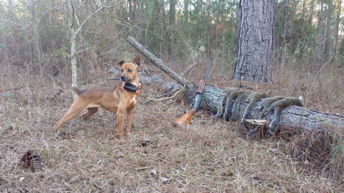 Train A Squirrel Dog Squirrel Hunting Dog Training Dogs