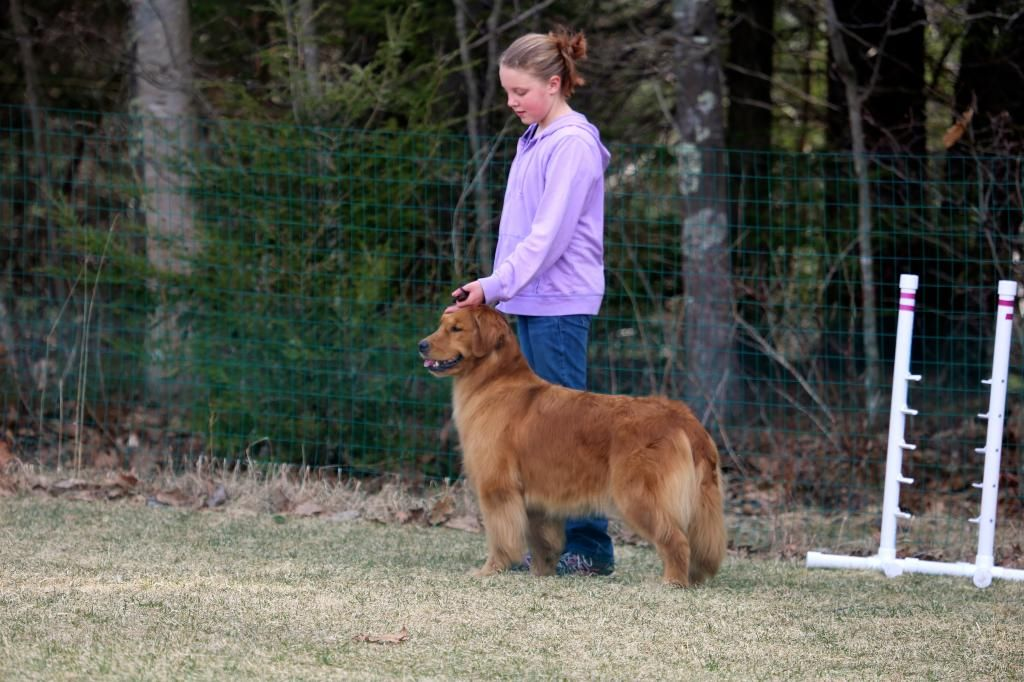 Poeticgold Farm Dog Training Golden Retrievers In Falmouth