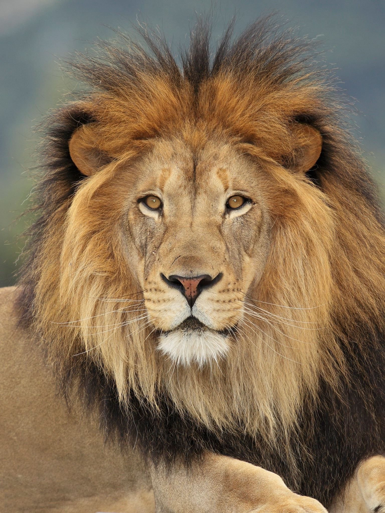 Pin by aslan on Animal | Lion facts, Lion, Lions photos