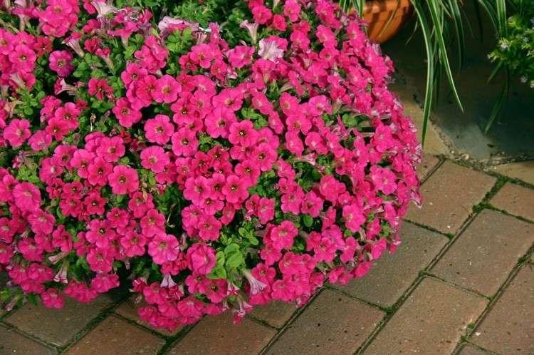 Fiori Pendenti.Piante Pendenti Da Balcone Piante Fiori Giardinaggio