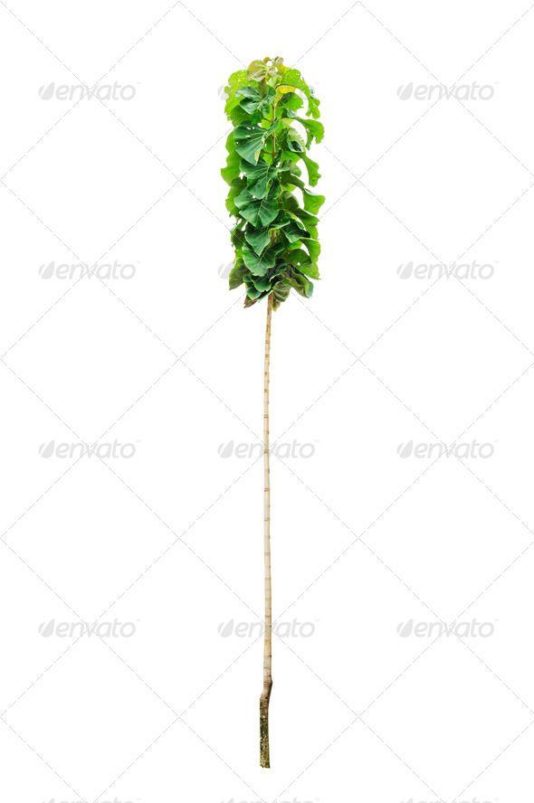 Young teak tree     background, beautiful, beauty, environment