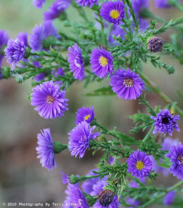 Aster Cordifolius Wood S Blue Or Could Be Aster Novi Belgii Eventide Michaelmas Daisy Sad