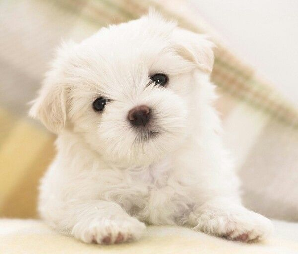 That Is So Adorable Maltese Puppy Puppy Pictures Cute Dogs