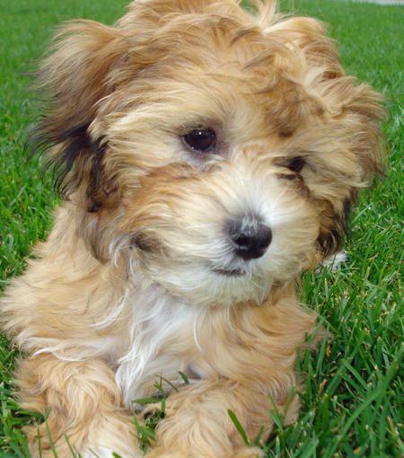 Sadie The Shih Tzu Mix Bear Dog