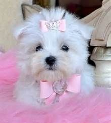 White Yorkie Teacup Teacup Puppies For Sale Florida Puppies For